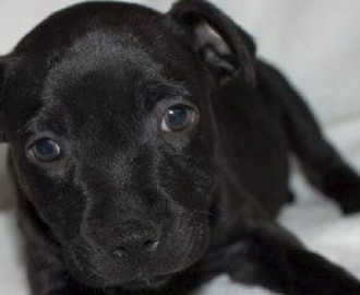 Torro, born in puppy factory, shipped across the country, sold in PIAA pet store, dead shortly afterwards. Image - Fairfax