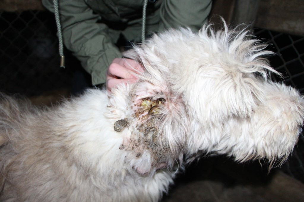 It's not the infection Dogs Victoria find offensive, its the exposure of it Image - Oscars Law