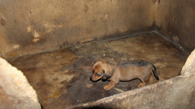 One of the dogs on the Sammut Wyndham property Image - Oscars Law