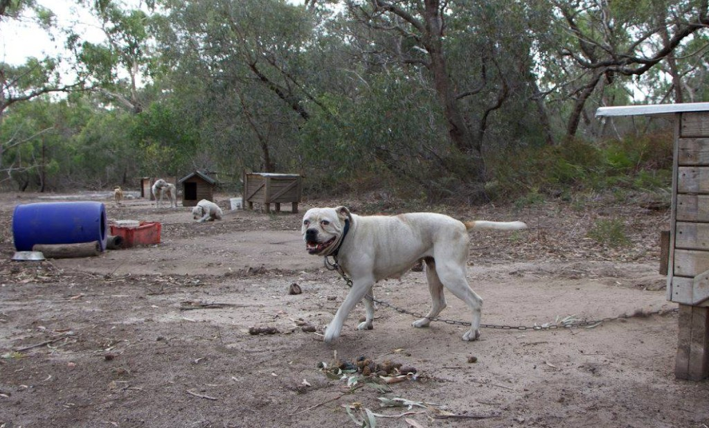 Some of the dogs chained in bushland Image - Oscars Law