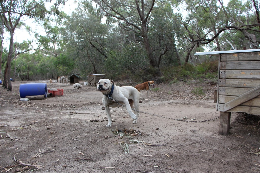 "Some of Simone Dines ""Off The Chain Bull Breeds"" rescue dogs chained up and dumped in bushland Image - Oscars Law"